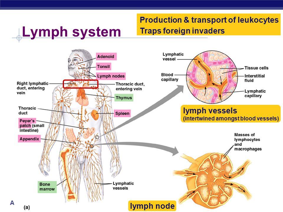 Ap Biology Immune Lymphatic System Lymphocytes Attacking Cancer