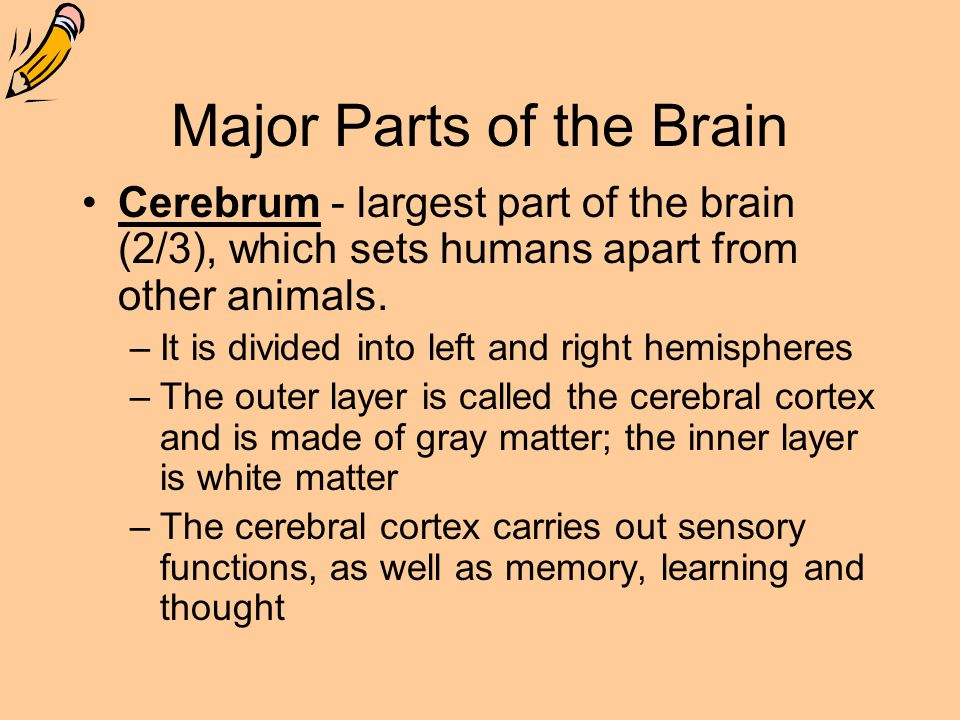 Major Parts of the Brain Cerebrum - largest part of the brain (2/3), which sets humans apart from other animals.