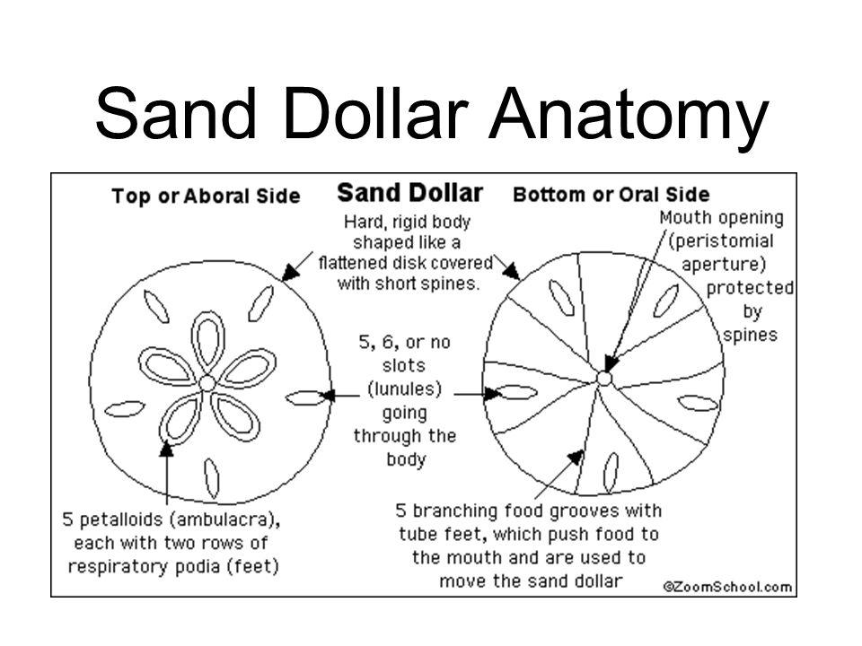 Sand Dollar Anatomy Diagram - Circuit Connection Diagram •