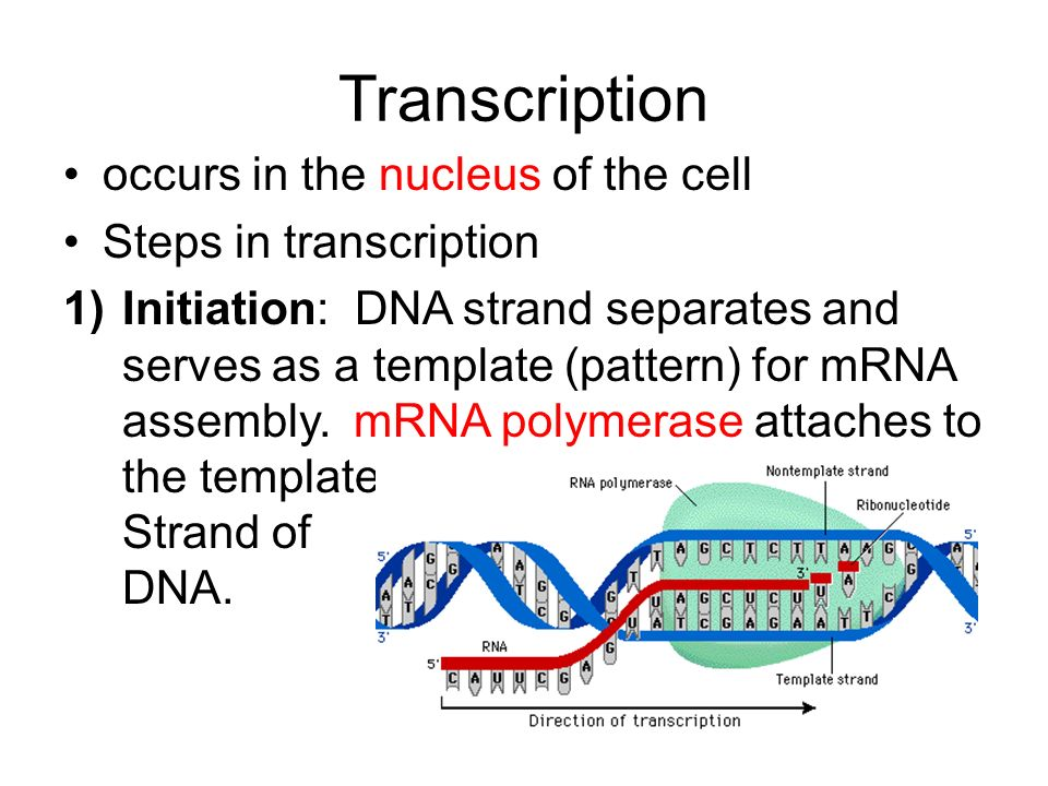 Transcription occurs in the nucleus of the cell Steps in transcription 1)Initiation: DNA strand separates and serves as a template (pattern) for mRNA assembly.