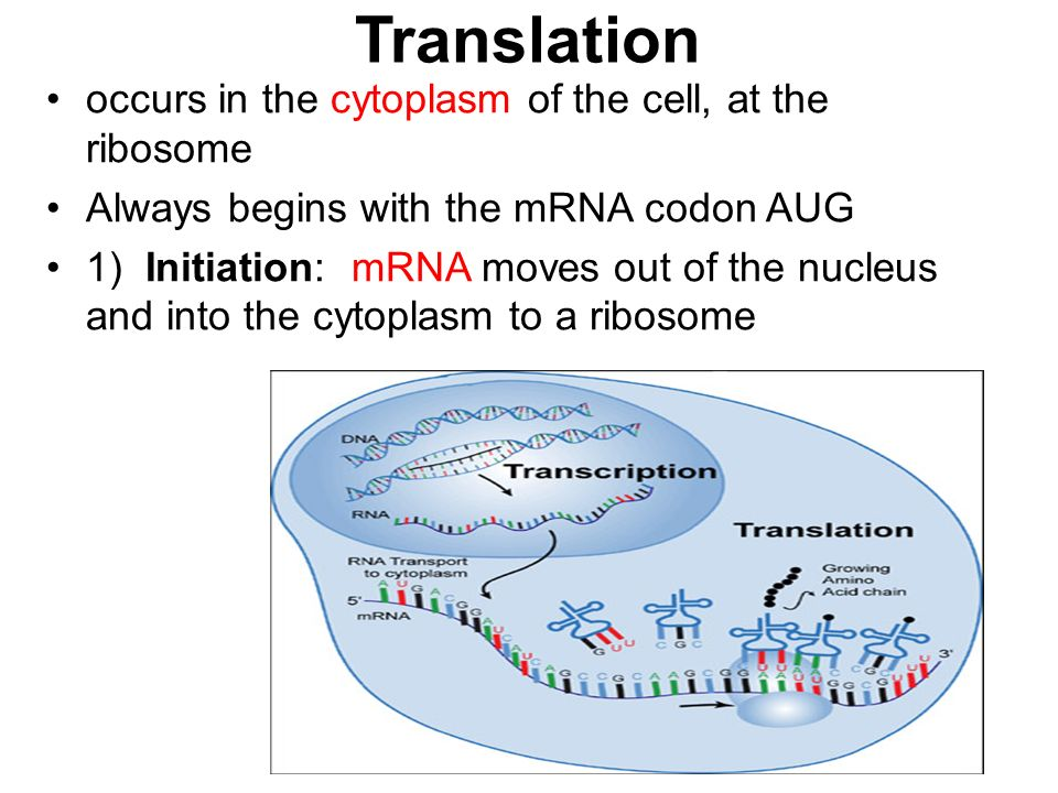 Translation occurs in the cytoplasm of the cell, at the ribosome Always begins with the mRNA codon AUG 1) Initiation: mRNA moves out of the nucleus and into the cytoplasm to a ribosome