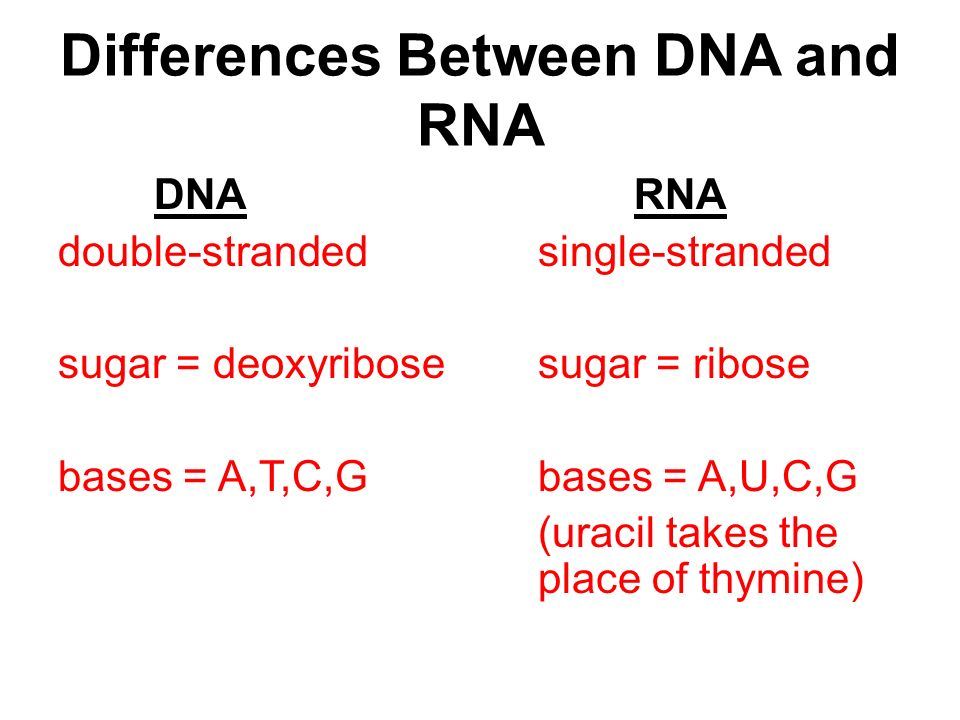 Differences Between DNA and RNA DNARNA double-strandedsingle-stranded sugar = deoxyribosesugar = ribose bases = A,T,C,Gbases = A,U,C,G (uracil takes the place of thymine)