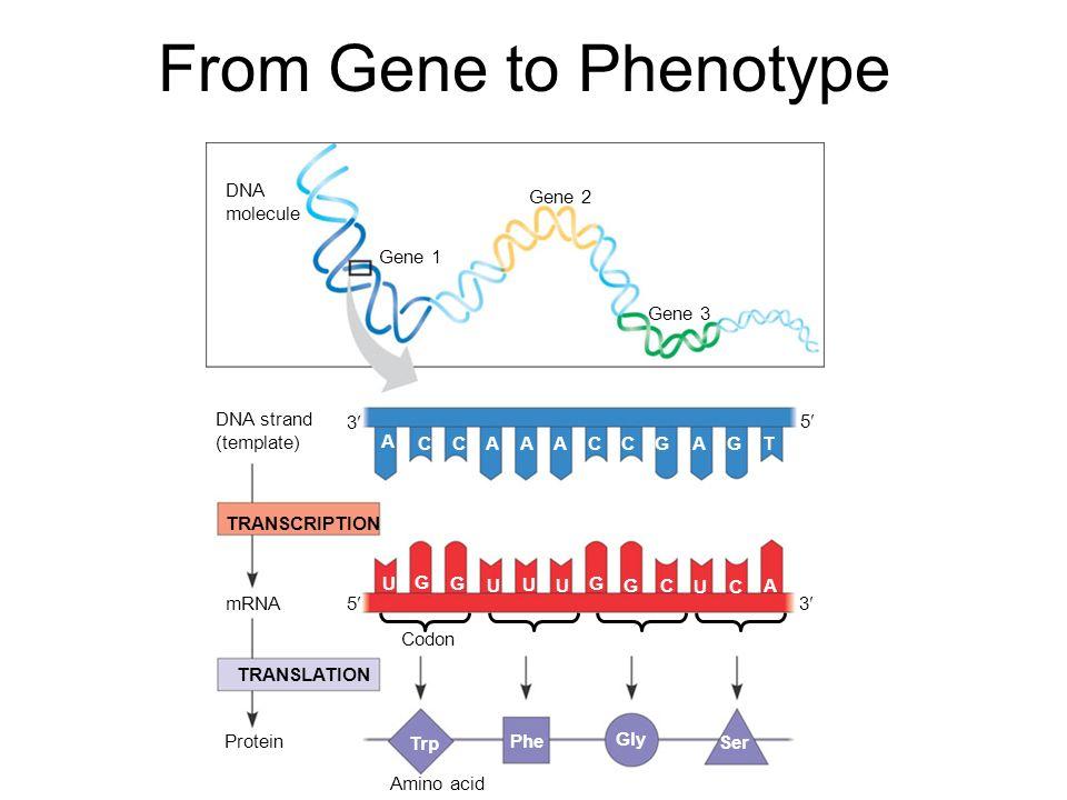 From gene to phenotype dna molecule gene 1 gene 2 gene 3 dna strand 1 from gene to phenotype dna molecule maxwellsz
