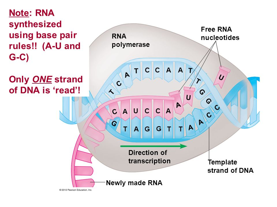 RNA polymerase Free RNA nucleotides Template strand of DNA Newly made RNA Direction of transcription T G A G G A A U C CA C T T A A C C G G U T U T A ACC T A T C Note: RNA synthesized using base pair rules!.