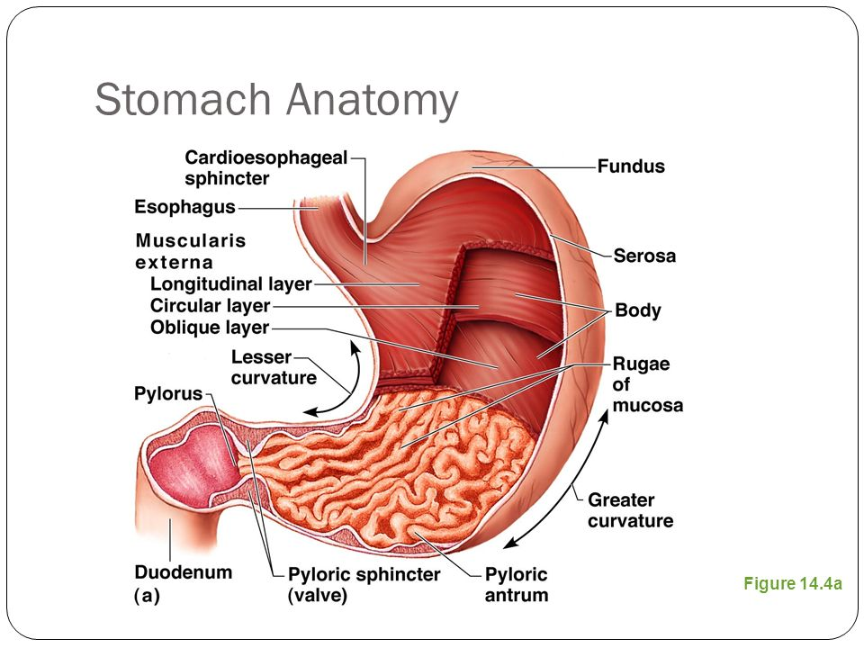 The Digestive System And Body Metabolism Stomach Anatomy Located On