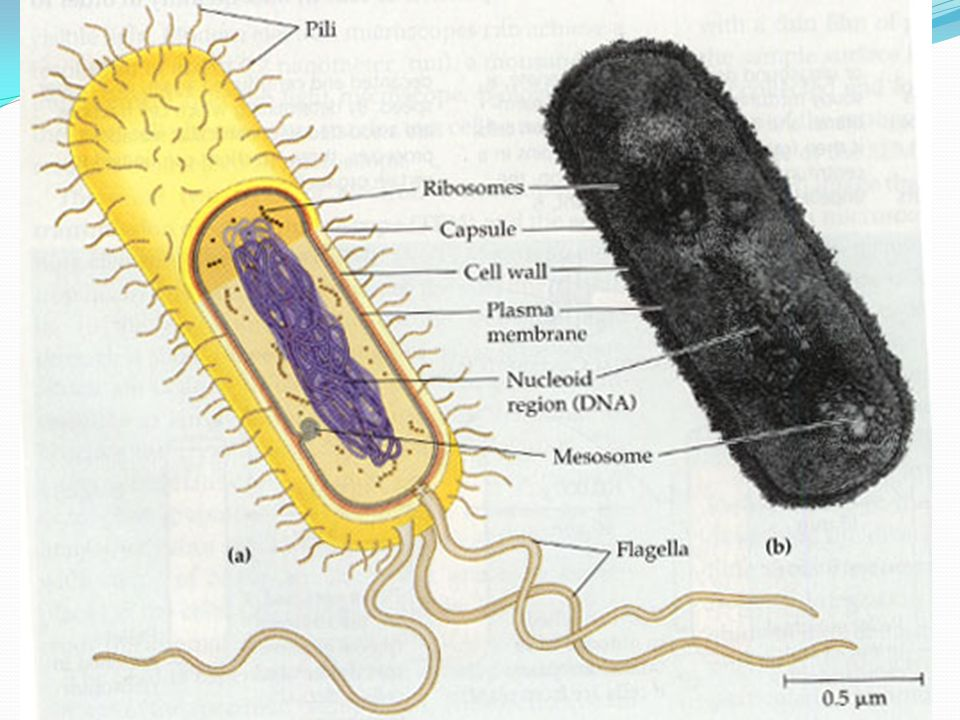 22 prokaryotic cells ppt download 4 22 prokaryotic cells annotate your diagram with the functions each named structure cell wall forms a protective outer layer that prevents damage from ccuart Image collections