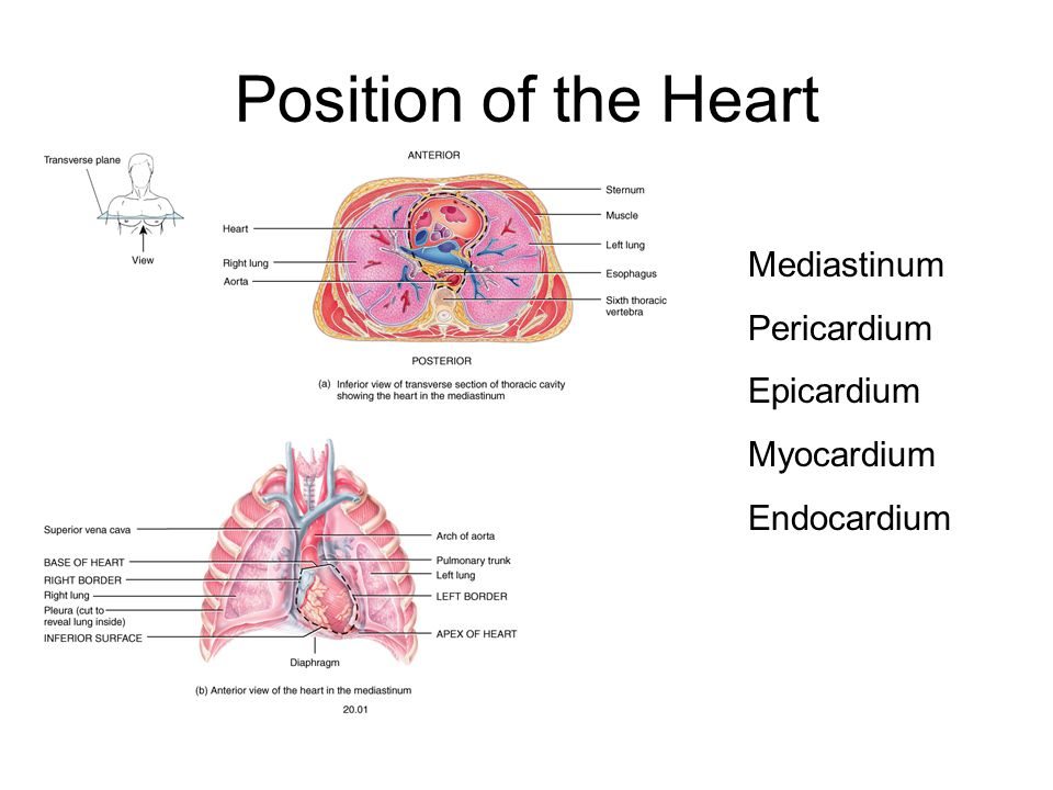 Chapter 20 the heart position of the heart mediastinum pericardium 2 position of the heart mediastinum pericardium epicardium myocardium endocardium ccuart Choice Image
