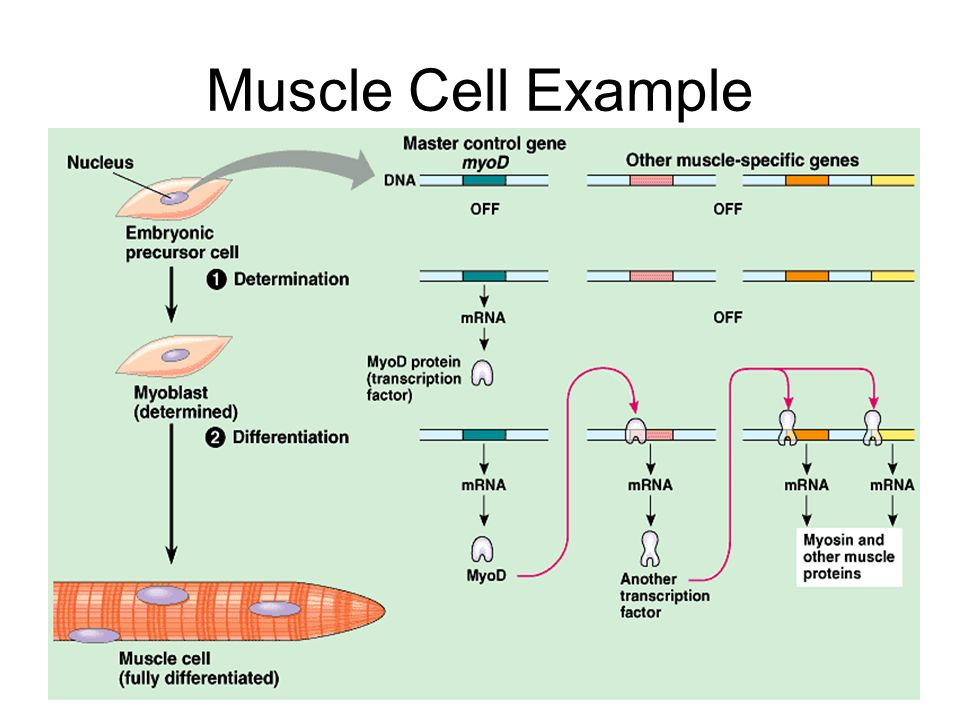 Muscle Cell Example