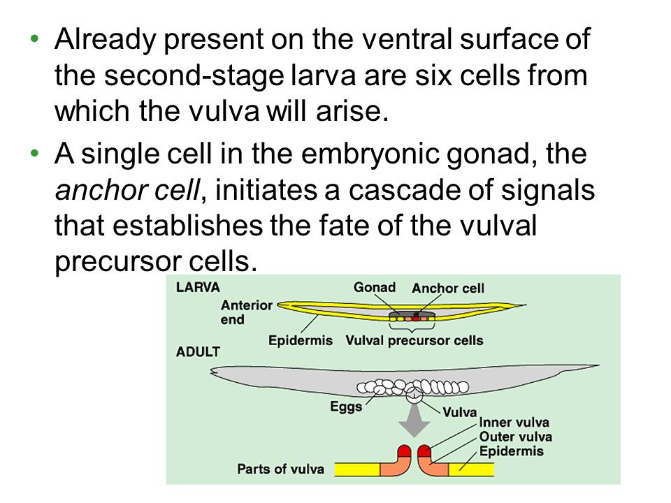 Already present on the ventral surface of the second-stage larva are six cells from which the vulva will arise.