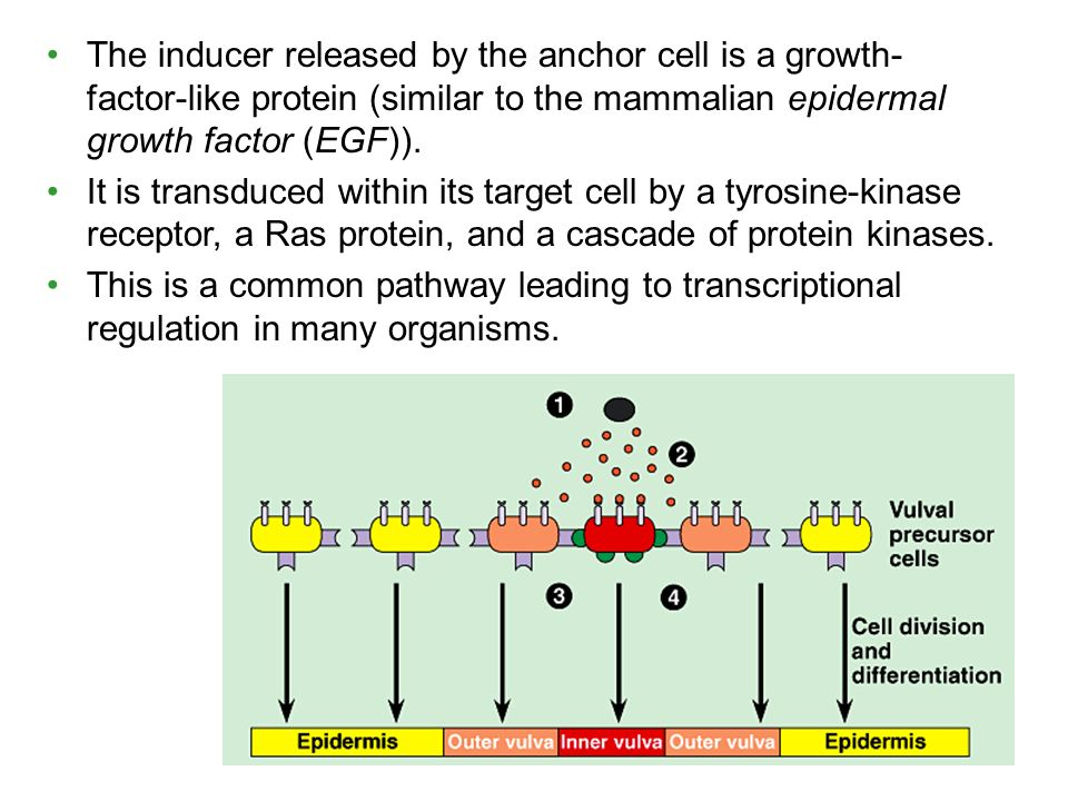 The inducer released by the anchor cell is a growth- factor-like protein (similar to the mammalian epidermal growth factor (EGF)).