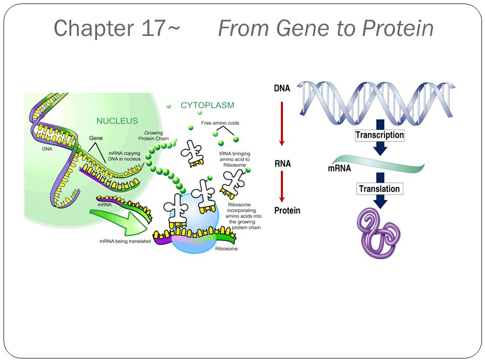 Chapter 17 From Gene To Protein Protein Synthesis Overview One