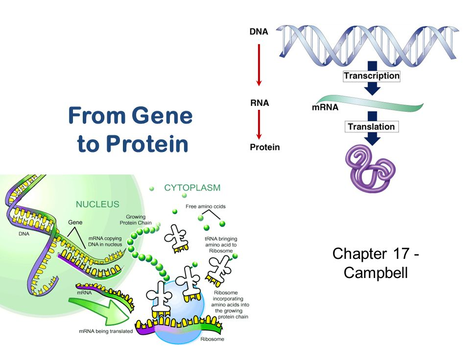 By Photo Congress || Do Genes Code For Proteins