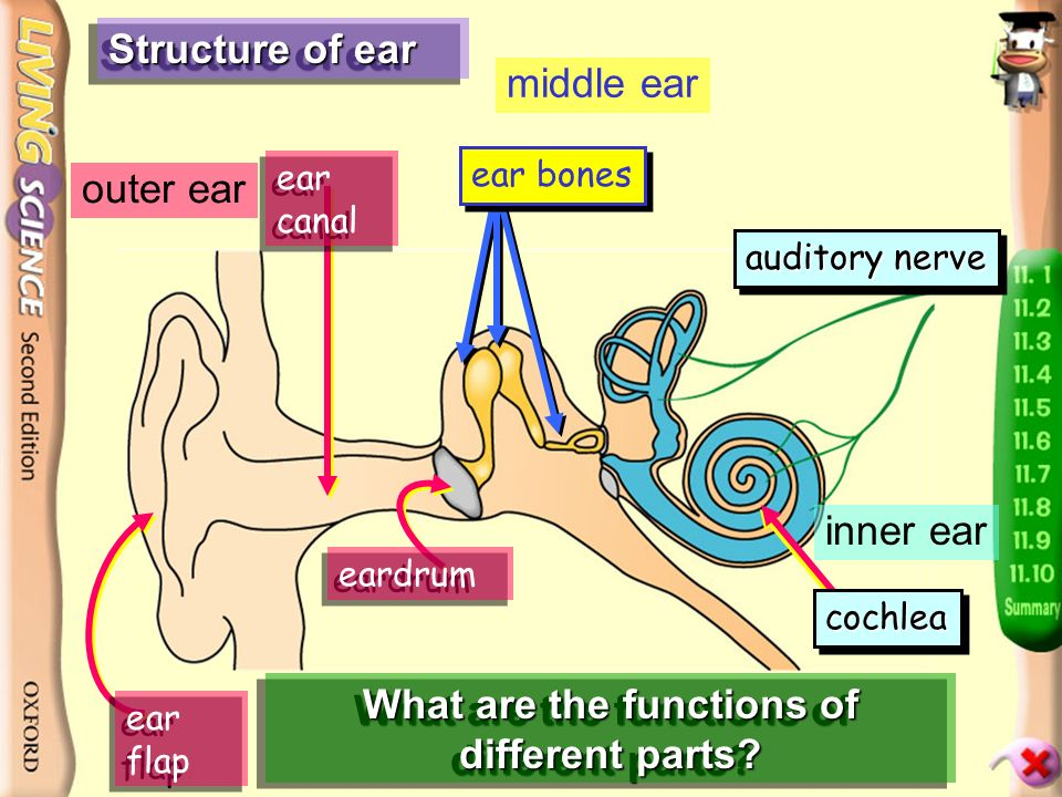 p.94 Ear - divided into three parts outer ear middle ear inner ear tube leading to throat with a tube leading to throat full of fluid