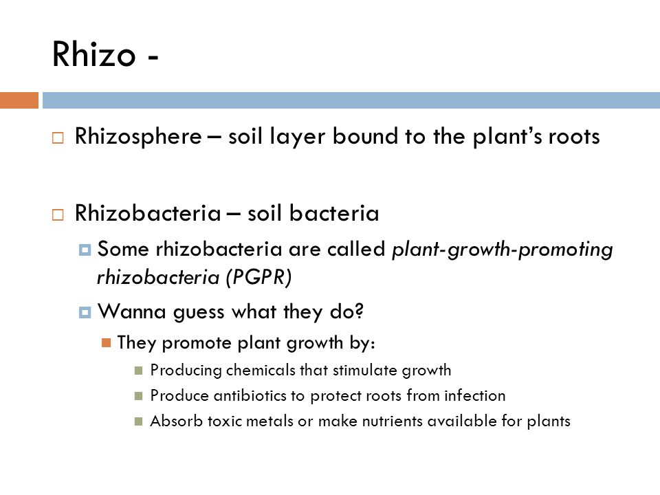 Rhizo -  Rhizosphere – soil layer bound to the plant's roots  Rhizobacteria – soil bacteria  Some rhizobacteria are called plant-growth-promoting rhizobacteria (PGPR)  Wanna guess what they do.