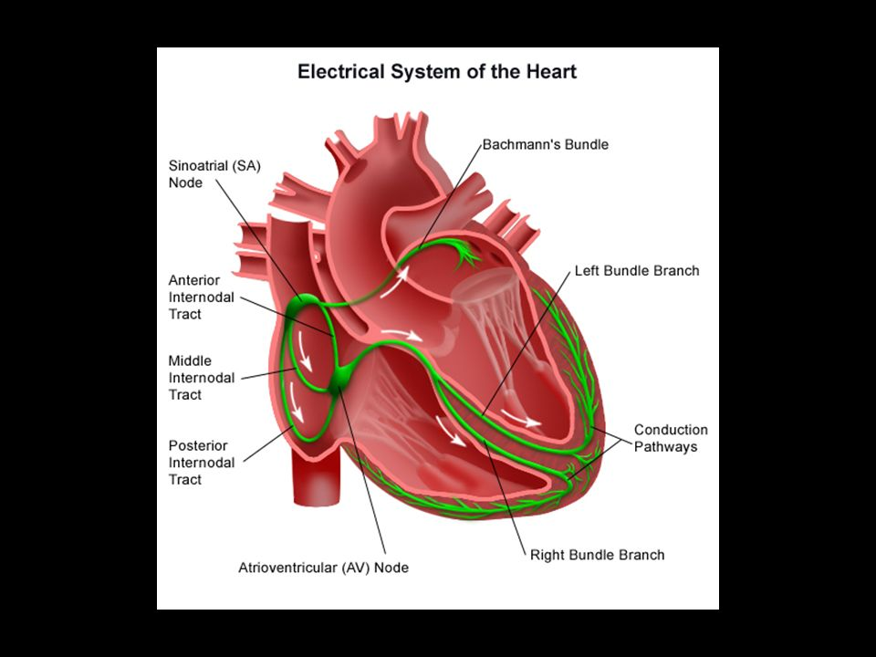Cardiac Conduction Physiology Of Cardiac Conduction The Excitatory