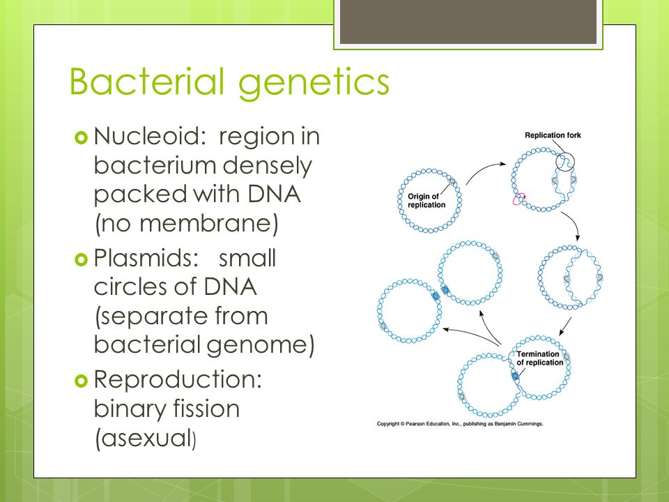 Bacterial genetics  Nucleoid: region in bacterium densely packed with DNA (no membrane)  Plasmids: small circles of DNA (separate from bacterial genome)  Reproduction: binary fission (asexual )