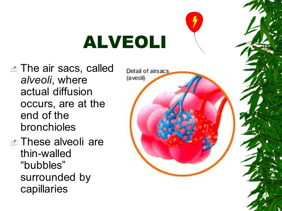 ALVEOLI  The air sacs, called alveoli, where actual diffusion occurs, are at the end of the bronchioles  These alveoli are thin-walled bubbles surrounded by capillaries