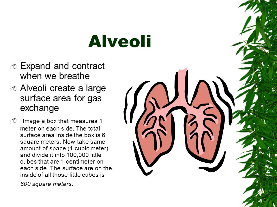 Alveoli  Expand and contract when we breathe  Alveoli create a large surface area for gas exchange  Image a box that measures 1 meter on each side.