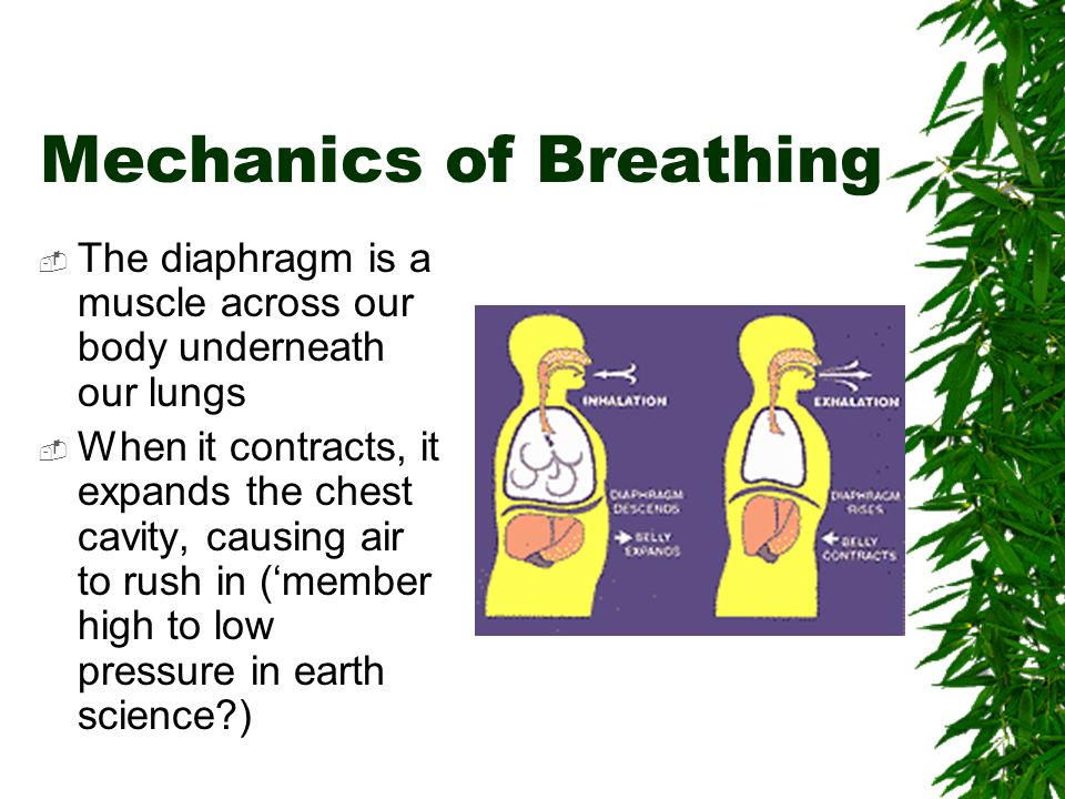 Mechanics of Breathing  The diaphragm is a muscle across our body underneath our lungs  When it contracts, it expands the chest cavity, causing air to rush in ('member high to low pressure in earth science )