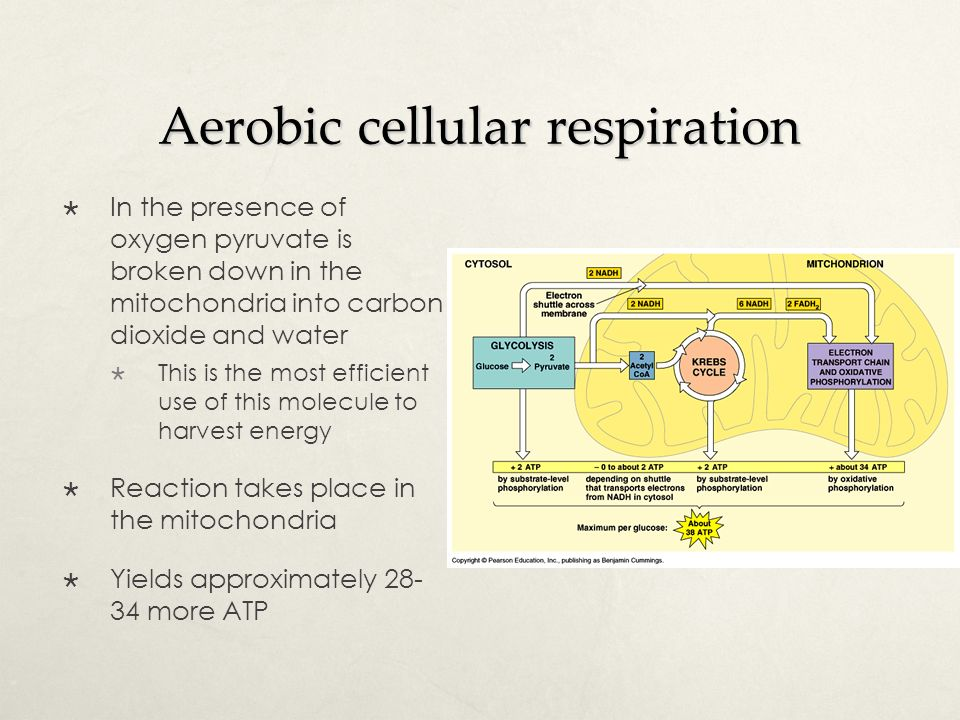 Define Cellular Respiration Cell Respiration Is The Controlled
