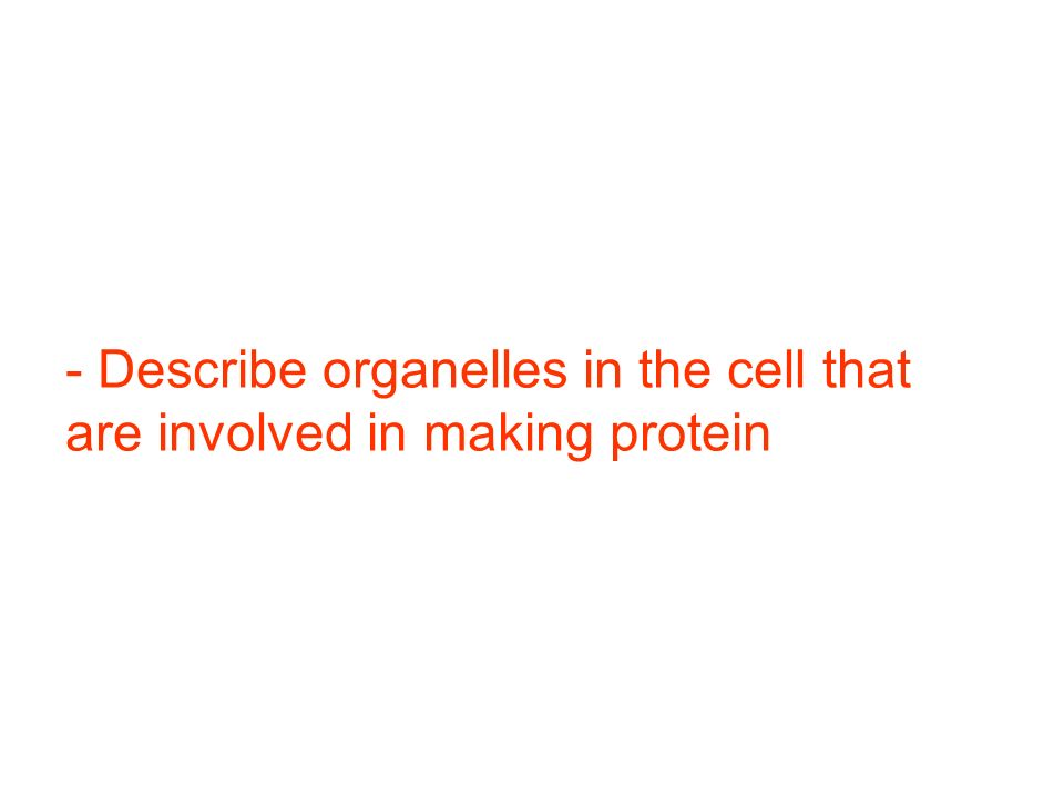 - Describe organelles in the cell that are involved in making protein