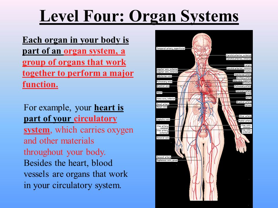 Level Three: Organs When a bunch of different types of tissues work together, they form an organ.