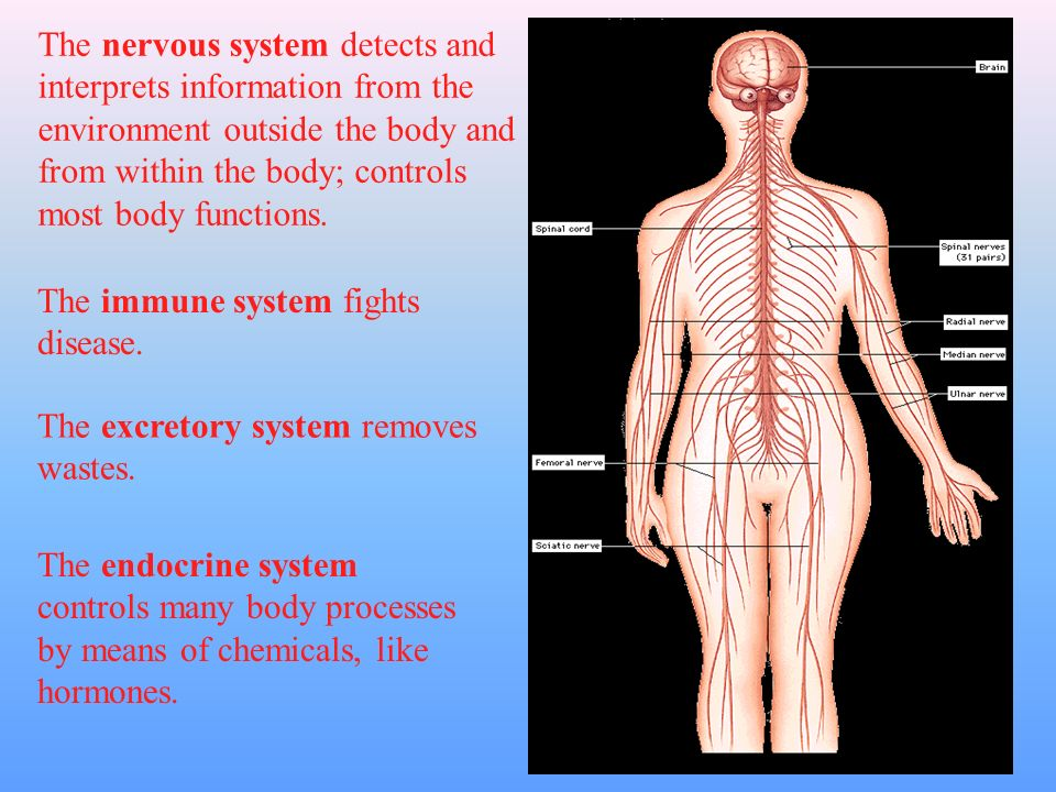 Level Four: Organ Systems Each organ in your body is part of an organ system, a group of organs that work together to perform a major function.