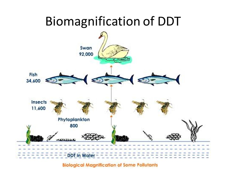 12 biomagnification of ddt