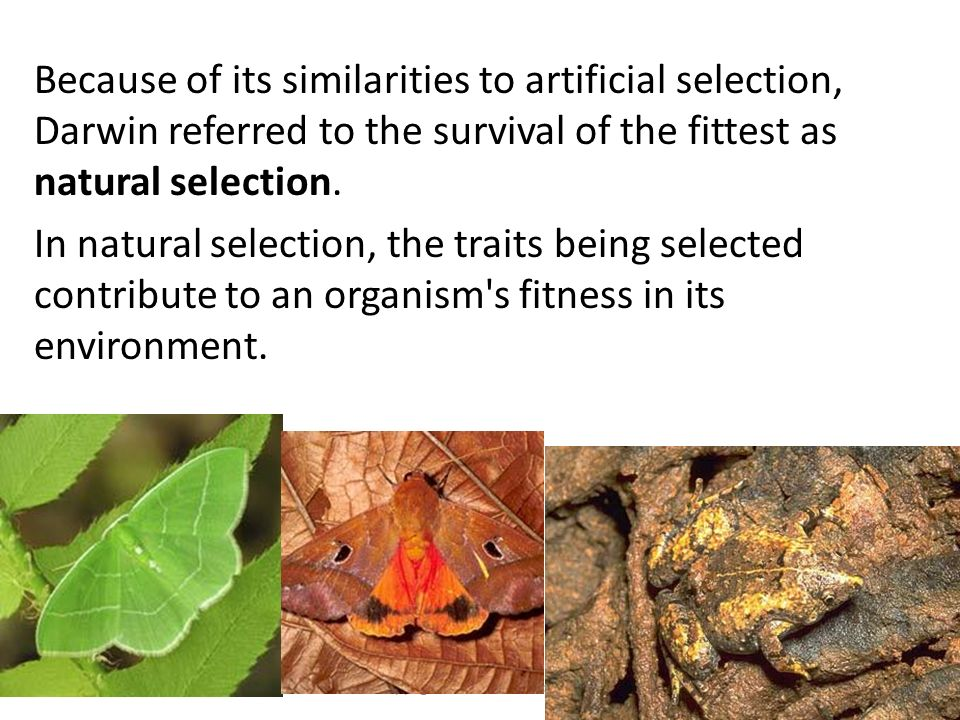 Copyright Pearson Prentice Hall Because of its similarities to artificial selection, Darwin referred to the survival of the fittest as natural selection.