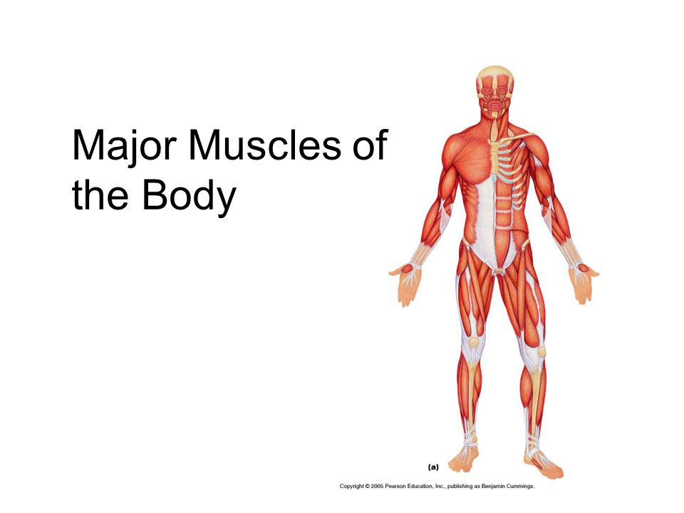 Major Muscles of the Body. Interactions of Skeletal Muscles ...