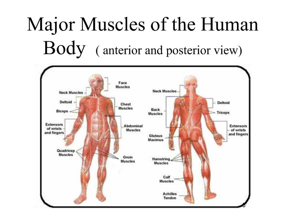 Major Muscles Of The Body Interactions Of Skeletal Muscles