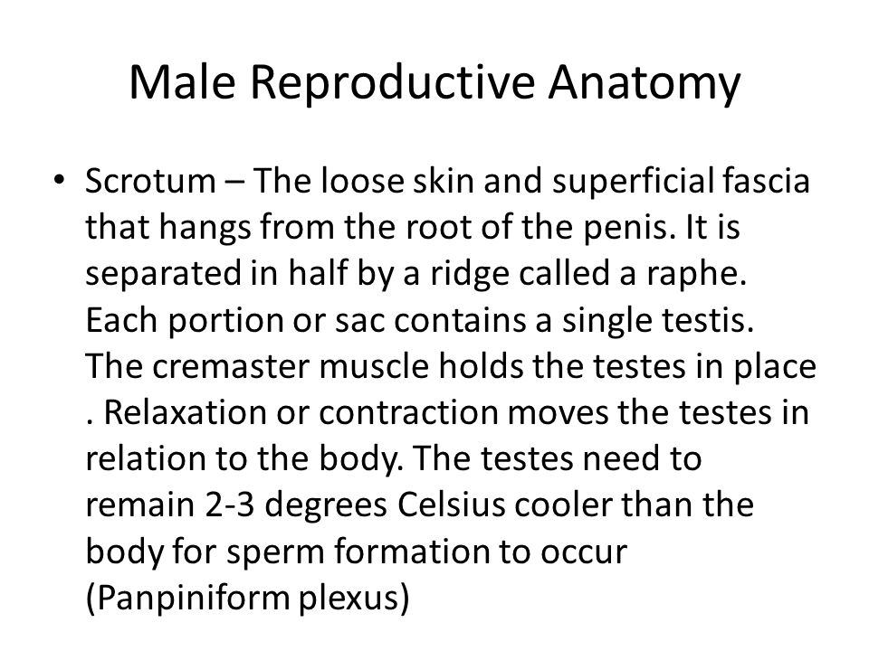 4 Male Reproductive Anatomy Scrotum ...