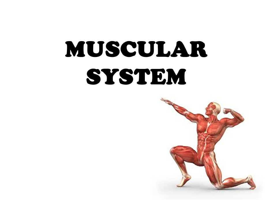 MUSCULAR SYSTEM. anatomical terminology ? Assume the anatomical ...