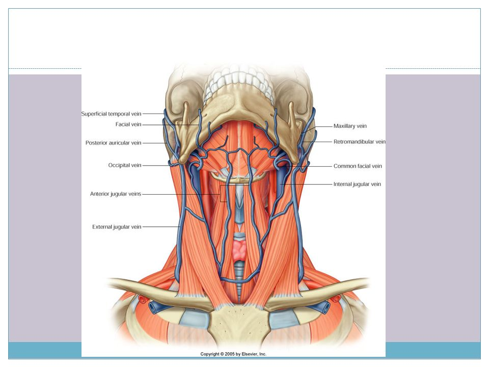 Muscluar triangles of ……………….the neck - ppt video online download