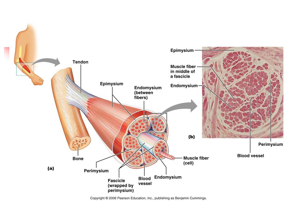 Anatomy and Physiology Muscle Tissue. Muscle in the human body There ...