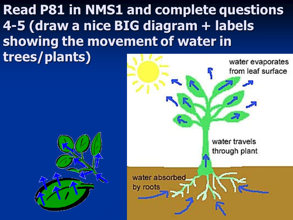 Plants and water plants and water slos describe the process of 7 read p81 in nms1 and complete questions 4 5 draw a nice big diagram labels showing the movement of water in treesplants ccuart Image collections