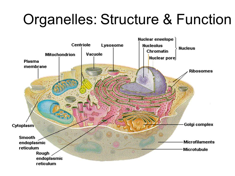 1 organelles: structure & function