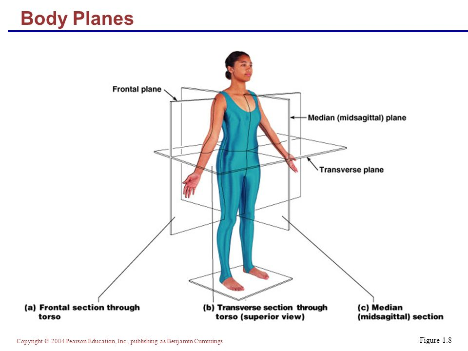 Copyright © 2004 Pearson Education, Inc., publishing as Benjamin Cummings Body Planes Figure 1.8