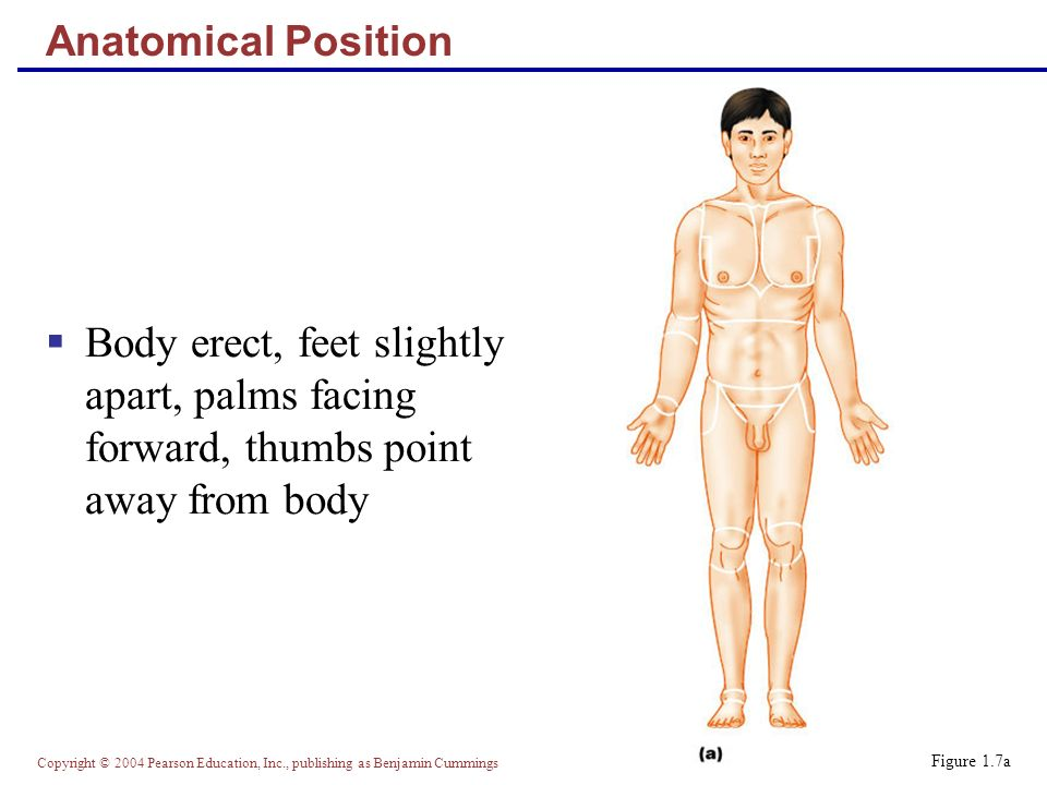 Copyright © 2004 Pearson Education, Inc., publishing as Benjamin Cummings Anatomical Position  Body erect, feet slightly apart, palms facing forward, thumbs point away from body Figure 1.7a