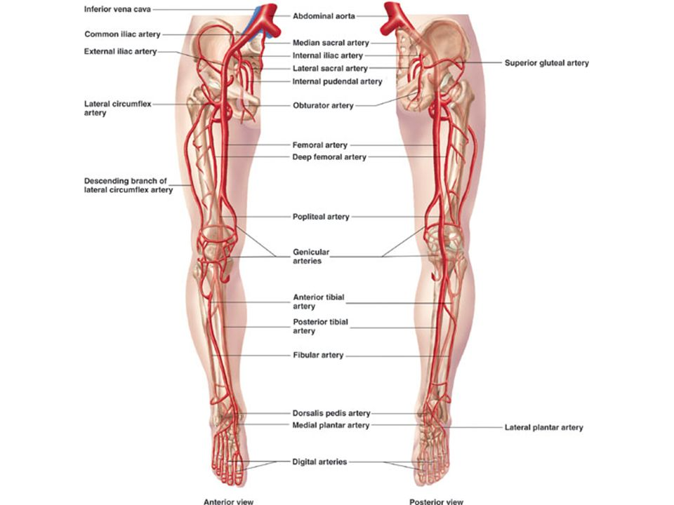 Arteries & Veins To Know For Practical - ppt video online download