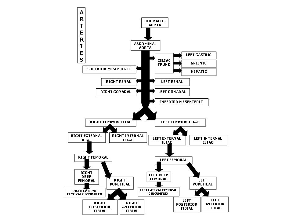 Anatomy Of Blood Vessels