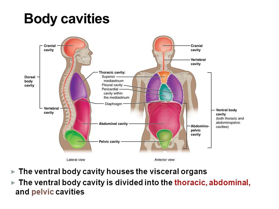 Anatomical Positions Anatomical Position Anatomical Position Body