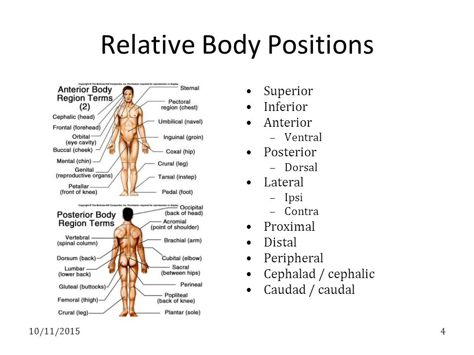 Part I - Terminology Anatomic position Body positions Relative body ...