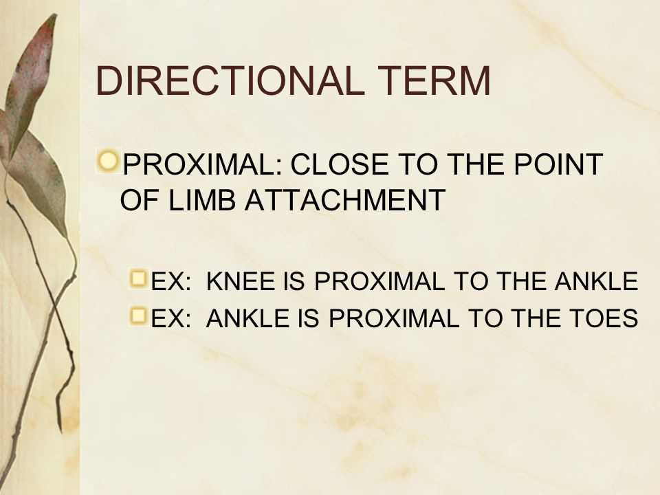 DIRECTIONAL TERM PROXIMAL: CLOSE TO THE POINT OF LIMB ATTACHMENT EX: KNEE IS PROXIMAL TO THE ANKLE EX: ANKLE IS PROXIMAL TO THE TOES