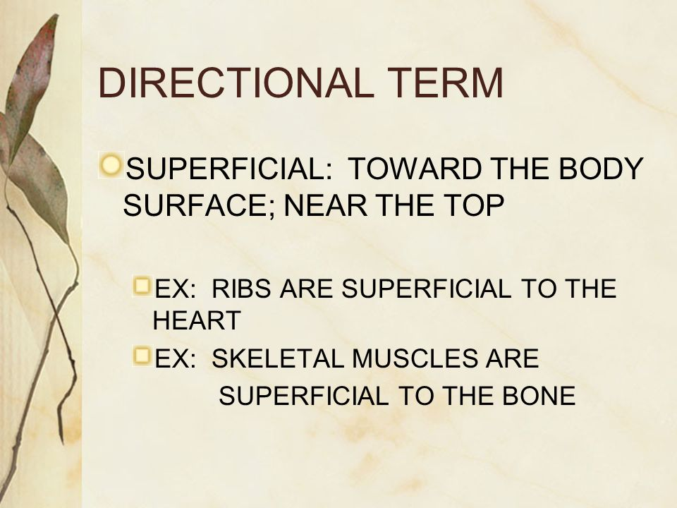 DIRECTIONAL TERM SUPERFICIAL: TOWARD THE BODY SURFACE; NEAR THE TOP EX: RIBS ARE SUPERFICIAL TO THE HEART EX: SKELETAL MUSCLES ARE SUPERFICIAL TO THE BONE