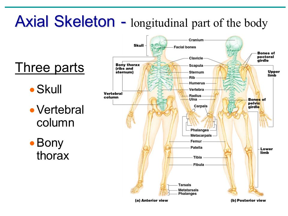 Chapter 5 The Skeletal System The Skeletal System Parts Of The