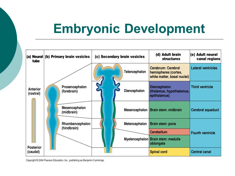 The Central Nervous System Chapter 12. Embryonic Development. - ppt ...