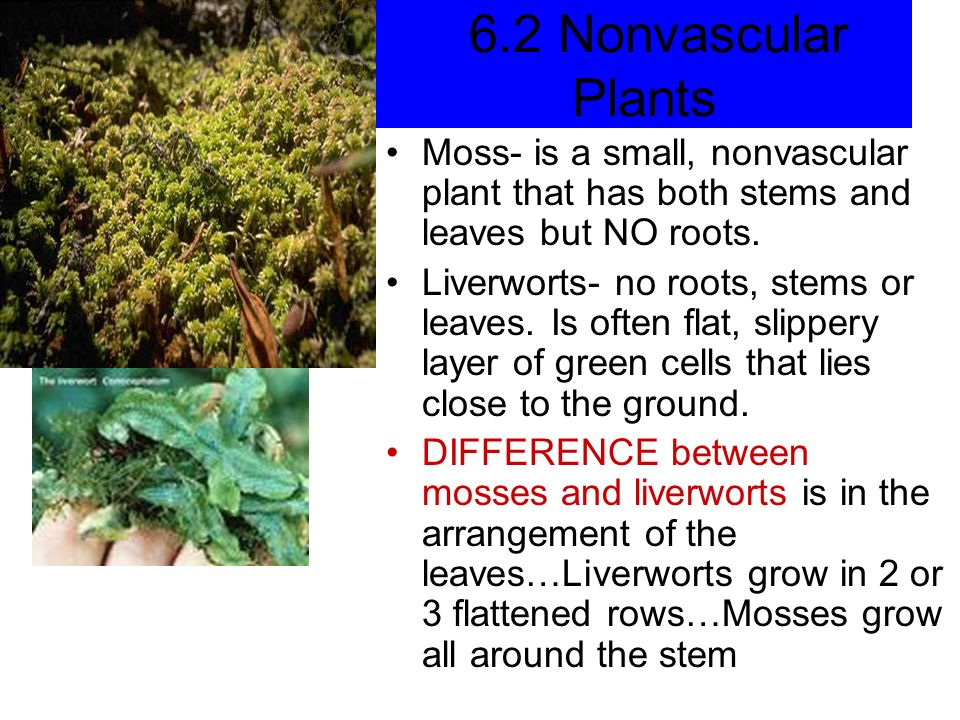 Moss- is a small, nonvascular plant that has both stems and leaves but NO roots.
