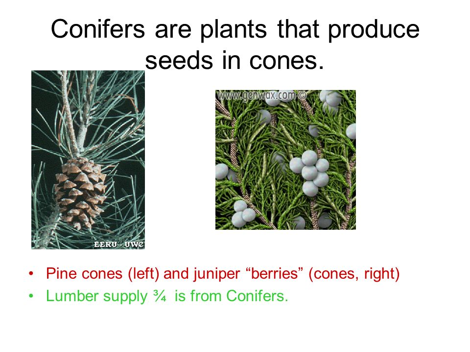 Conifers are plants that produce seeds in cones.