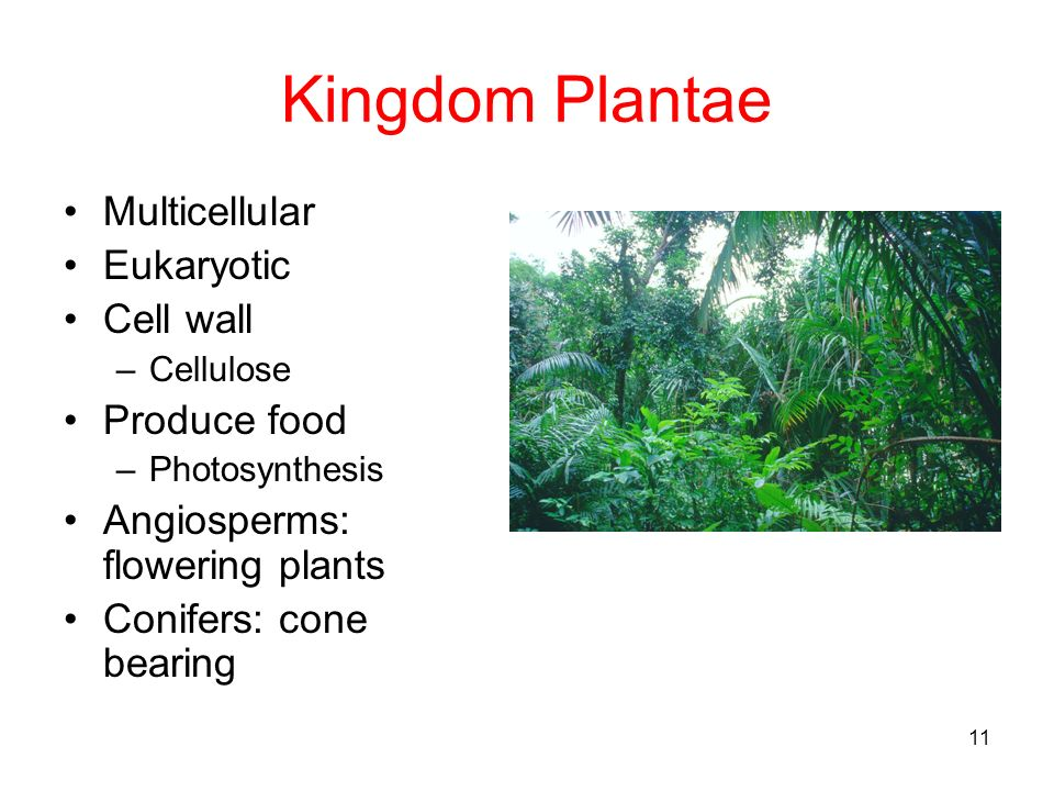 11 Kingdom Plantae Multicellular Eukaryotic Cell wall –Cellulose Produce food –Photosynthesis Angiosperms: flowering plants Conifers: cone bearing